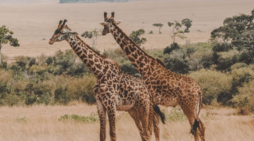 masai-mara-giraffe