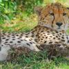 masai-mara-leopard