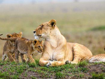 Masai Mara Safari Lions