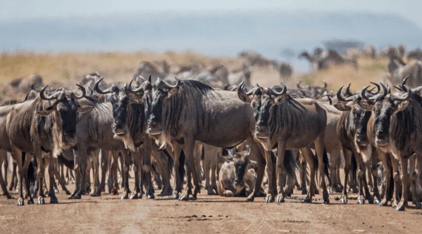 masai-mara-wild-beast