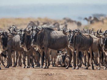 Masai Mara Safari Wild Beast