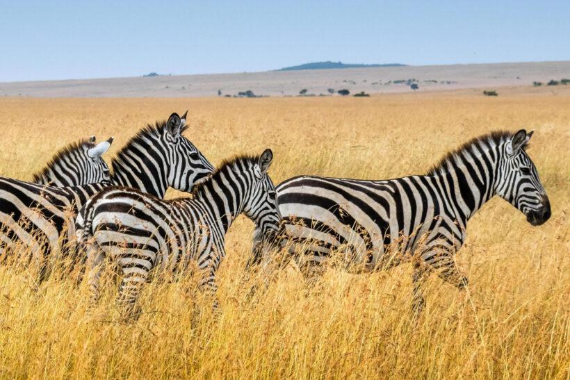 masai-mara-zebras