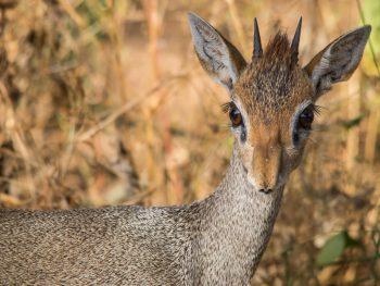 Samburu National Park Dik Dik
