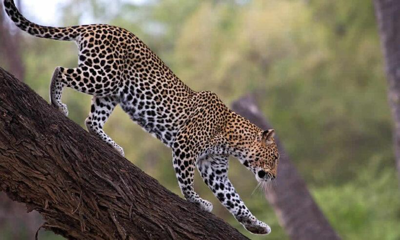 Samburu National Park Leopard
