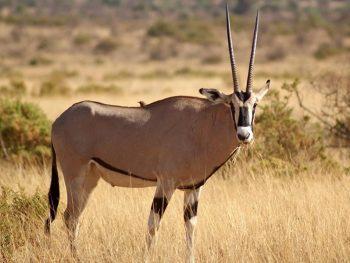 Samburu National Park Oryx Beisa