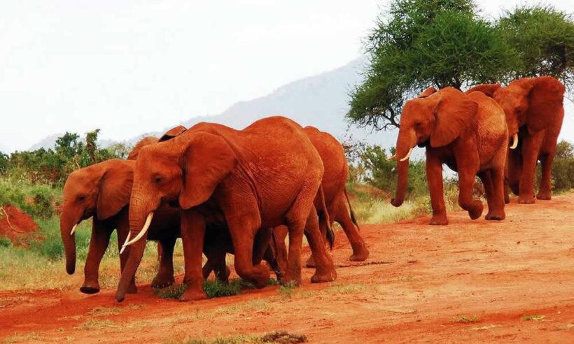 Tsavo East National Safari Elephants