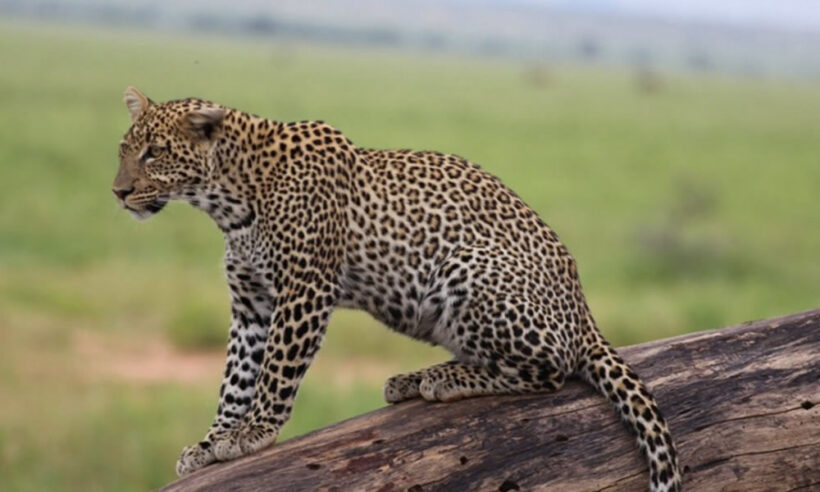 Tsavo West National Safari Cheetah