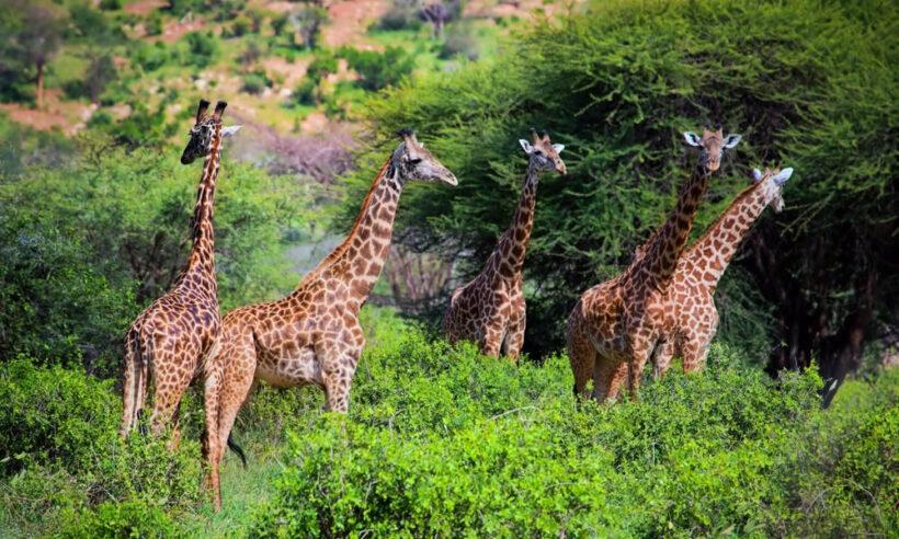 Tsavo West National Safari Giraffe