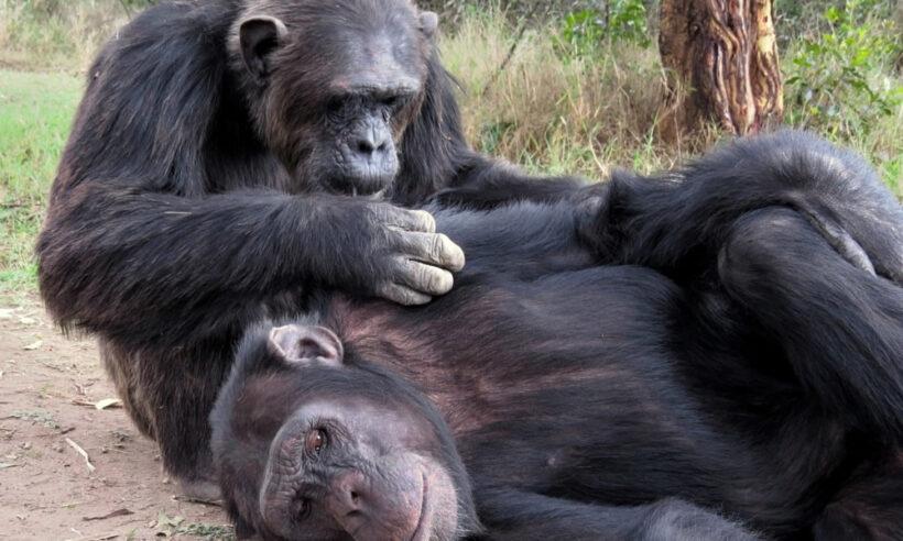 chimpanzees_ol_pejeta_conservancy_safari