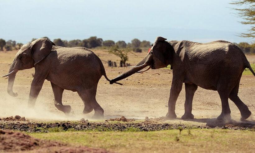 elephants_ol_pejeta_conservancy_safari