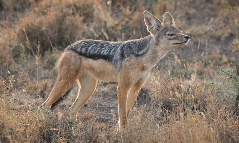 fox_ol_pejeta_conservancy_safari
