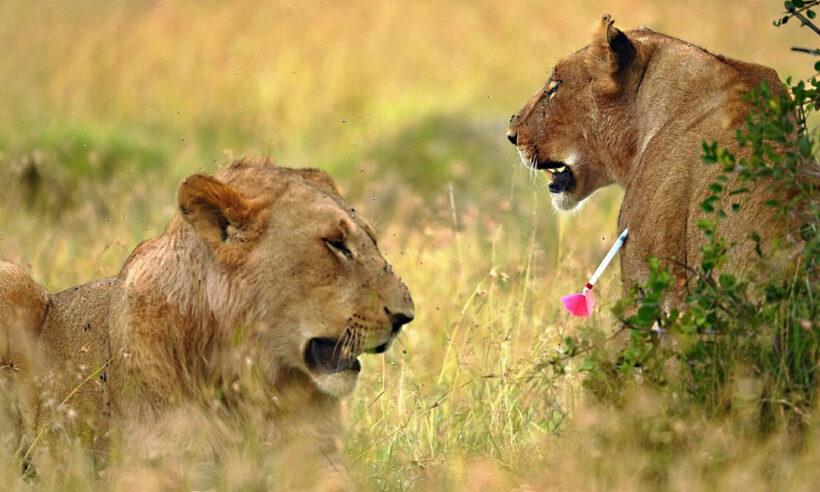 lions_ol_pejeta_conservancy_safari