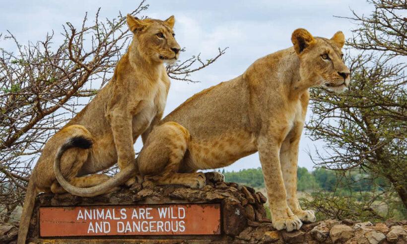 Nairobi National Park Lions