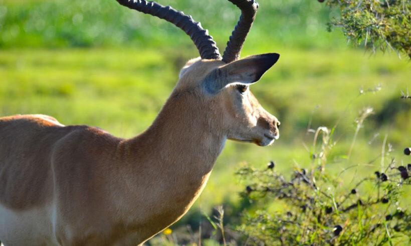 Nairobi National Park Antelope