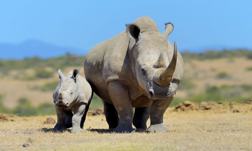 Ol Pejeta Conservancy Safari