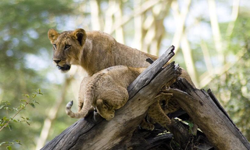 Lake-Nakuru-Lions