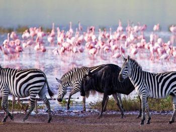 Lake Nakuru National Park Zebras